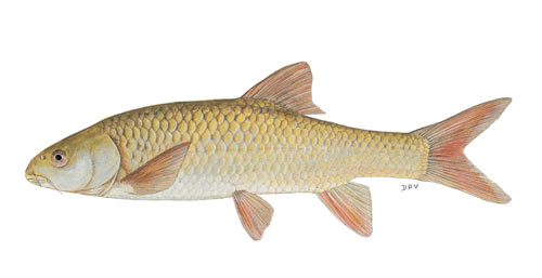 Orange-Vaal Smallmouth Yellowfish