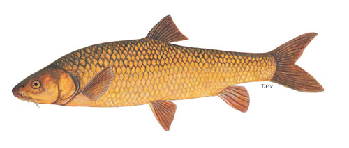 Clanwilliam Yellowfish