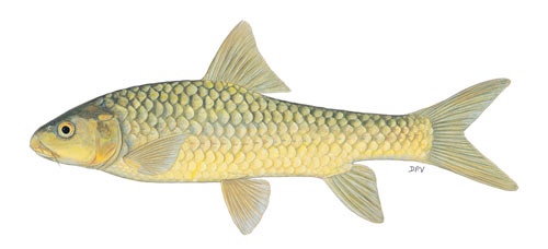 Lowveld Largescale Yellowfish