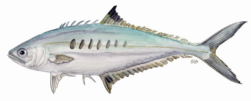 Needlescale Queenfish