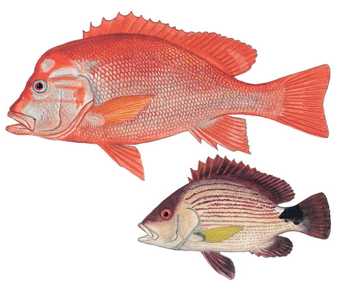 Blood Snapper