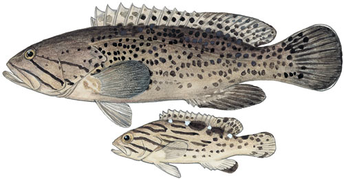 Cat-faced Rockcod