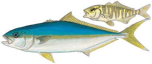Cape Yellowtail or Giant Yellowtail