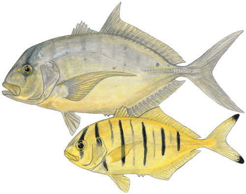 Golden Kingfish