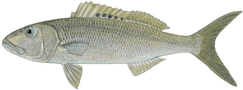 Green Jobfish
