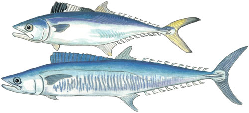 King Mackeral or Barracuda or Couta or Cuta or Spanish Mackerel