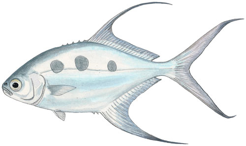 Largespotted Pompano or Wave Garrick or Threespot Pompano