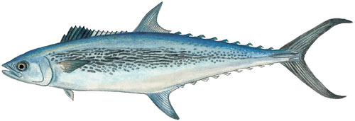 Queen Mackerel