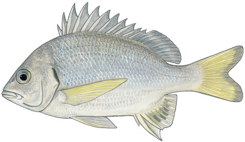 River Bream