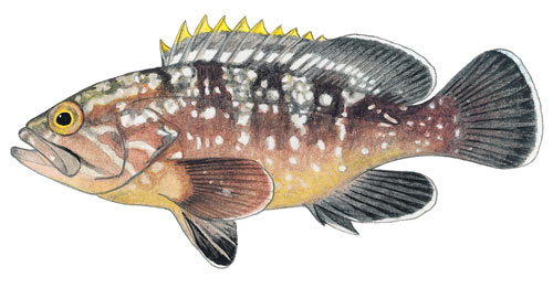 Yellowbelly rockcod